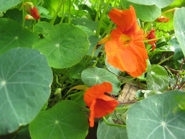 Edible nasturtium flowers, great in salads!
