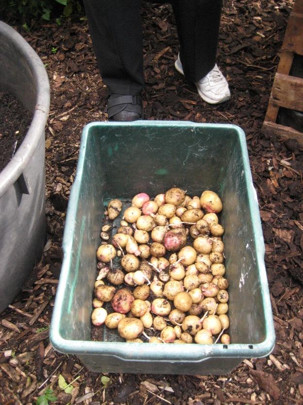 Tiny tiny new potatoes!
